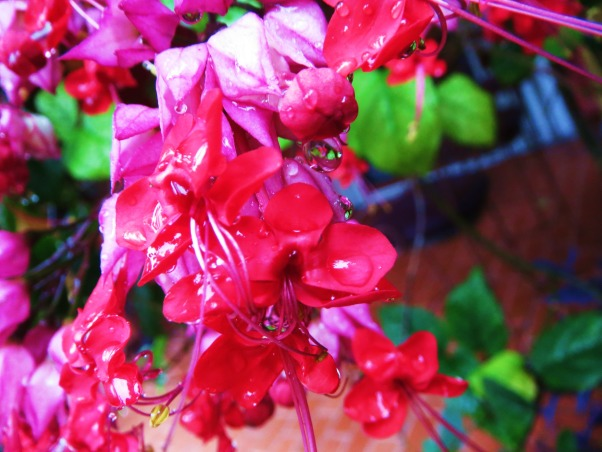 TroPICS., Pictures of my tropical garden in Florida., Close up of flowers on a B\bleeding heart vine. , Gardens Design