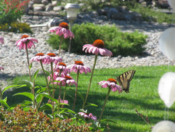 Did it ourselves park-like setting, Our backyard was nothin' but dirt 6 years ago. We have s-l-o-w-l-y added trees shrubs rock and accents to make it our favorite place to hang out  whenever the weather permits., A swallowtail visits the coneflowers., Yards Design