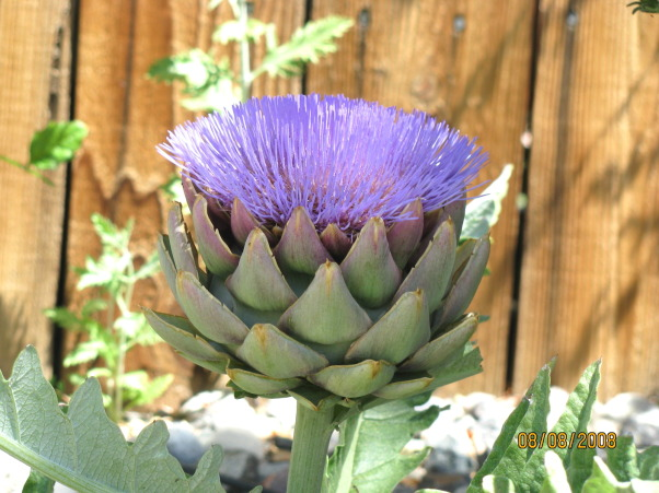 Did it ourselves park-like setting, Our backyard was nothin' but dirt 6 years ago. We have s-l-o-w-l-y added trees shrubs rock and accents to make it our favorite place to hang out  whenever the weather permits., My first ever artichoke flower!, Yards Design