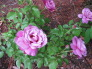 MY PURPLE ROSE'S AND MY GARDEN !, This purple rose is call [ HAIRLOOM] need's full sun, she is two month's old, and is Blooming as you can see !! We had  cold weather this year and all my rose's are doing just fine !!, Gardens Design