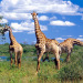 African Dream, an unforgettable journey that lasted 6 months through Africa , Playful Giraffes having a snack, Outdoors & Adventures